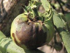 Фитофтора на помидорах
