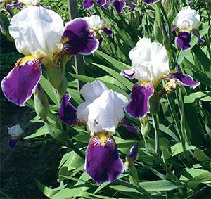 Ирисы сорта фото цветов