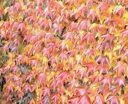Девичий виноград Parthenocissus альтернативные газоны