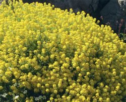 Алиссум скальный Alyssum saxatile альтернативные газоны