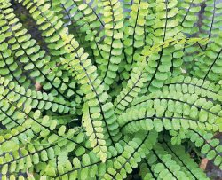 Асплениум волосовидный папоротник Asplenium trichomanes альтернативные газоны