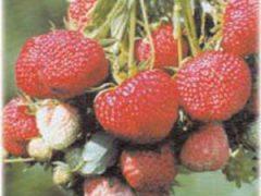 садова земляника клубника сорт сорта отзывы