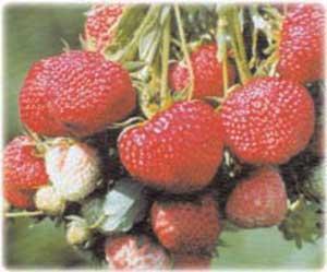 фото сорта клубника рубиновый кулон