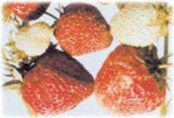 клубника описание сорт фото отзывы саженцы Юния Смайдс