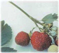 клубника описание сорт фото отзывы саженцы Зенга-Зенгана