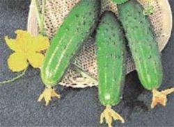 огурцы отзывы фото f1 Фермер