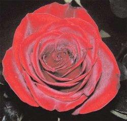 чайно-гибридная роза отзывы фото описание Блэк Мэджик Black Magic