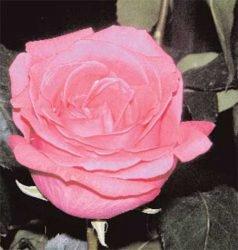 отзывы сорта лучшие розы гибридные чайно советы Равэль Ravel