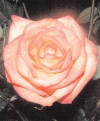 Чайно-гибридная роза в открытом грунте теплице