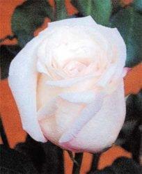 отзывы розы в открытом грунте описание советы