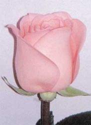 отзывы в теплице чайно-гибридная роза опрыскивание мучнистая роса