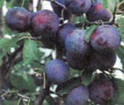 сливы сорта описание фото Тульская Черная