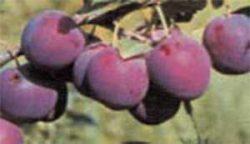 сливы сорта описание фото Евразия 21