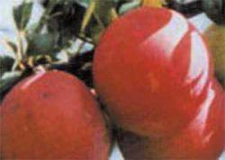 сливы сорта описание фото Скороплодная
