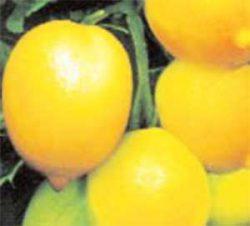 необычные сорта томатов фото Чудо Света