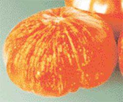 необычные сорта томатов фото Фейерверк