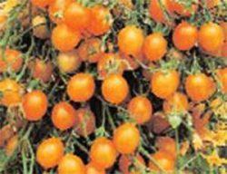 необычные сорта томатов фото Водопад