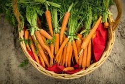 морковь кормовая отзывы