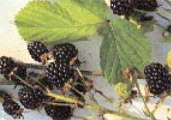 отзывы малина сорта фото описание Уголек