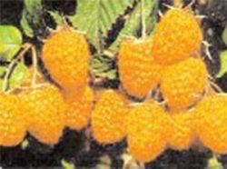 желтая малина сорта фото описание Абрикосовая