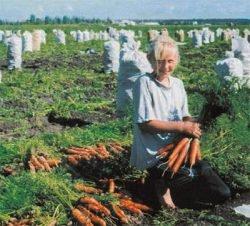 морковь сорта лучшие рейтинг