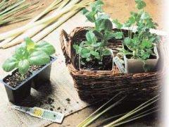 базилик сельдерей шалфенй рассада отзывы посадить