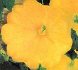 патиссоны сорта отзывы фото описание Солнышко