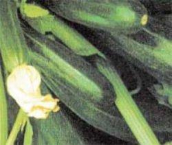 кабачки сорта отзывы фото описание Негритенок