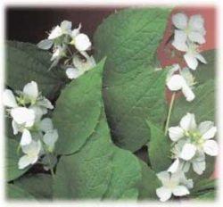 живая изгородь своими руками отзывы растения описание фото Чубушник