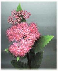живая изгородь отзывы растения описание фото Спирея таволга