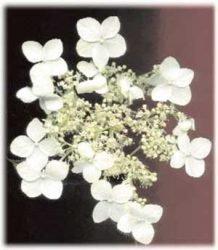 живая изгородь отзывы растения описание фото Гортензия