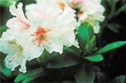 живая изгородь отзывы растения описание фото Рододендрон
