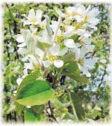 живая изгородь отзывы растения описание фото Ирга