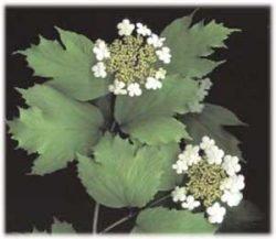 живая изгородь отзывы растения описание фото Калина