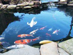рыбы для пруда купить декоративные