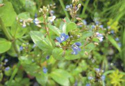 Вероника фото описание отзывы растение купить