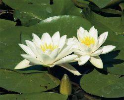 кувшинка белая для пруда водные растения