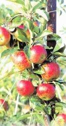 сорта лучшие яблоня саженцы цена