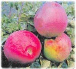 сорт яблони лучшие Подарок Графскому отзывы