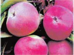 яблони сорта саженцы купить лучшие