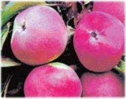 отзывы описание фото яблони яблоня Свежесть