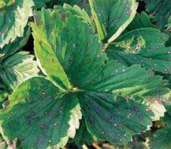Белая пятнистость болезни вредители клубника
