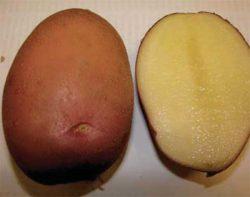 Юбиляр картофель сорта картофеля описание