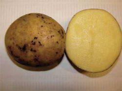 Брянский деликатес посадочный картофель