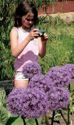лук голубой каратавский Островского, Моля золотистый неаполитанский