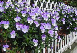 живая изгородь цветы однолетние