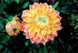 декоративный цветок далия цена