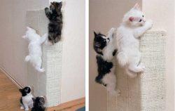 кошка котята курильский бобтейл