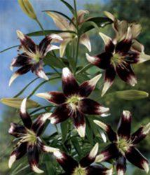 азиатский гибрид как размножить лилии