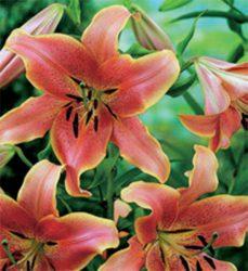ОТ-гибрид сроки цветения посадки